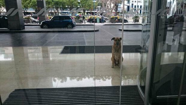 Бездомная собака постоянно ждет стюардессу в отеле: пока не забрала его домой
