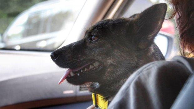 """25-й герой """"Яны Капу"""": отважная собака вернулась домой после лет скитаний, украинцы в восторге от невероятного животного"""
