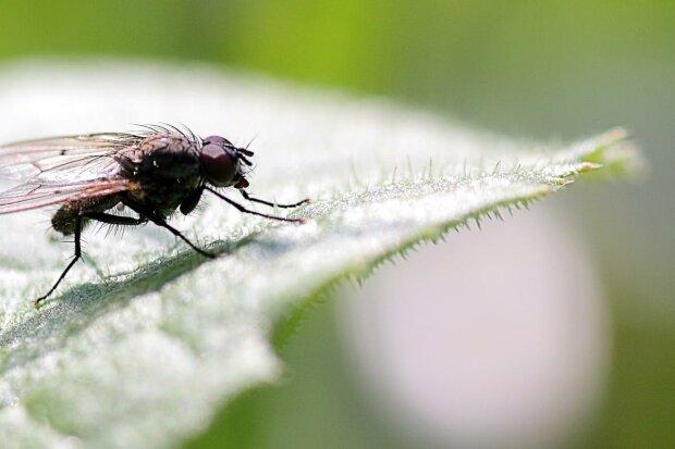 Заняття на карантині - скільки може пролетіти муха без відпочинку