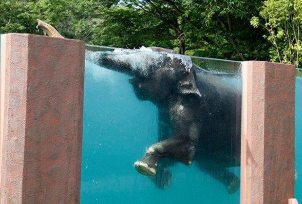 Для слонів побудували прозорий басейн у Японії (відео)