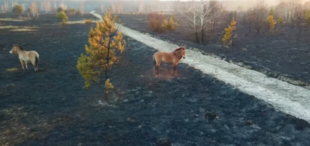 """Пожежа в Чорнобилі """"переселила"""" сотні диких тварин ближче до людей, голод наступає - відео постапокаліпсису"""