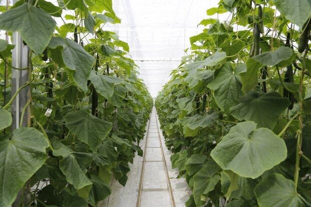 выращивание огурцов, фото Pxhere