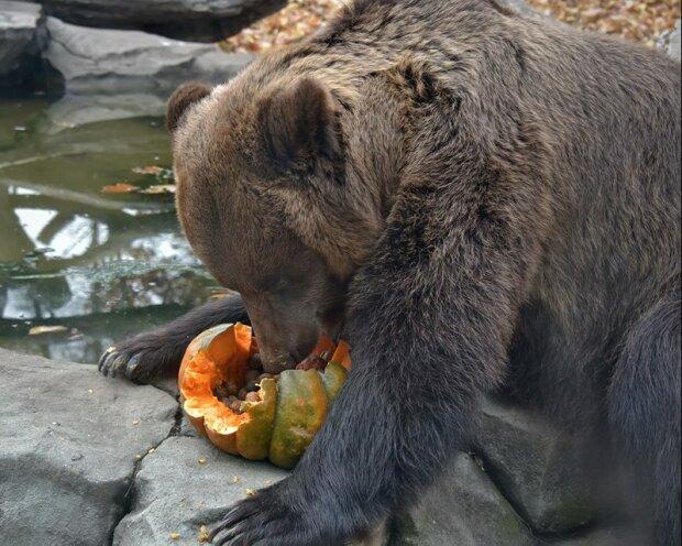 З гарбузами в лапках: як щасливі звірятка святкують Хелловін в зоопарку Києва
