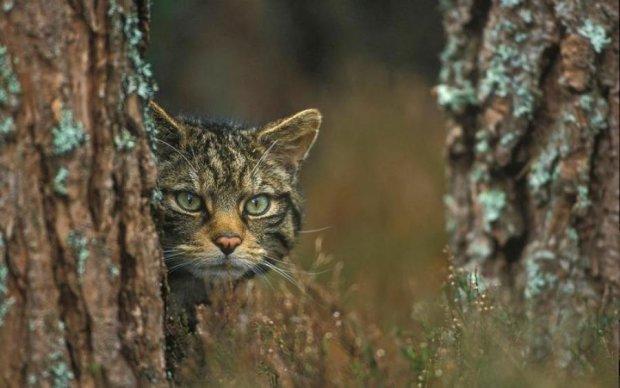 Неуловимая гигантская кошка таки попала в объектив: фото