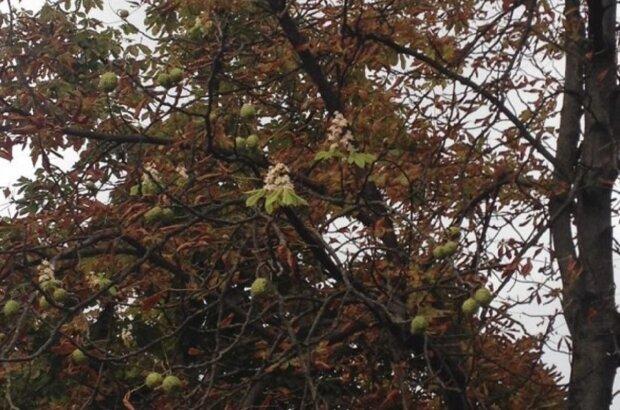 В Калуше цветут каштаны, фото: Вікна