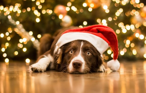 Очень эмоциональная собака получила в подарок любимую игрушку и стала звездой сети: Рождество всегда было любимым праздником Стеллы!