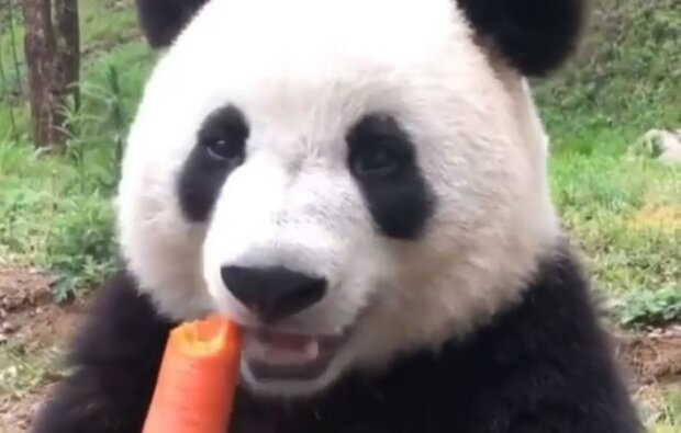 Панда, скріншот: Instagram