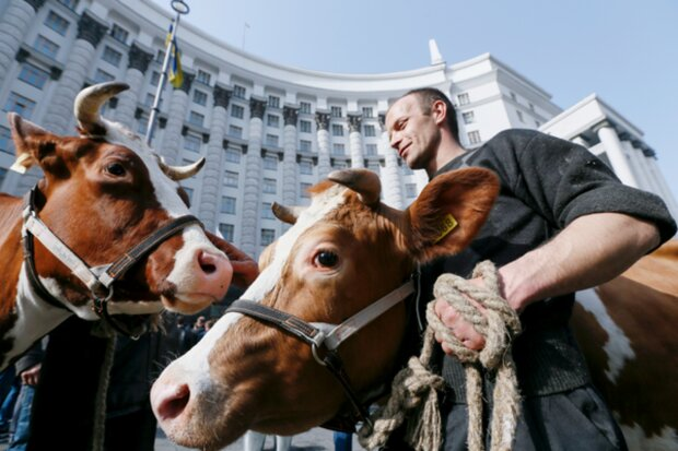 Гроші віддадуть не студентам, а коровам: в партії Порошенка запропонували новий законопроєкт