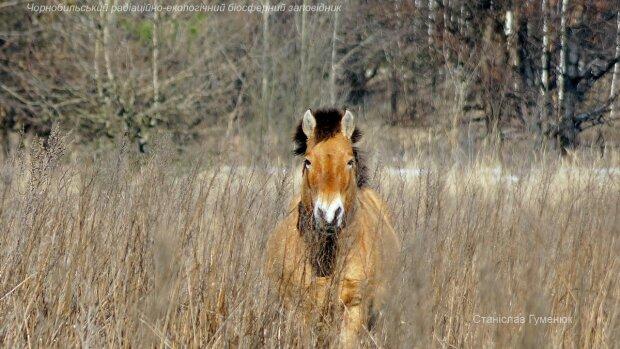 В Чернобыле засекли легендарных коней Пржевальского: только взгляните, какие красавцы!
