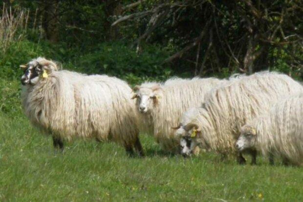 На Буковине вывели чудо-овцу с шикарной шевелюрой - дает молока больше, чем корова