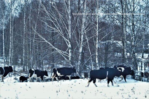 Стадо корів у Чорнобильському заповіднику, фото: Facebook