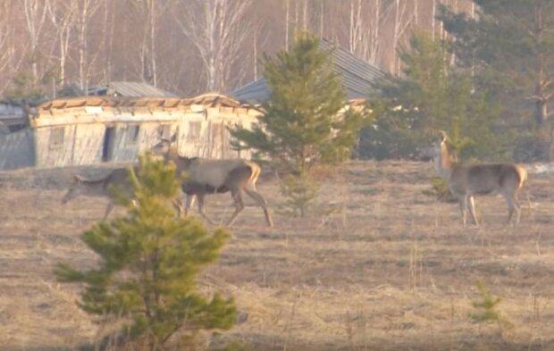 Испепеленный пожарами Чернобыль облюбовало стадо молодых оленей