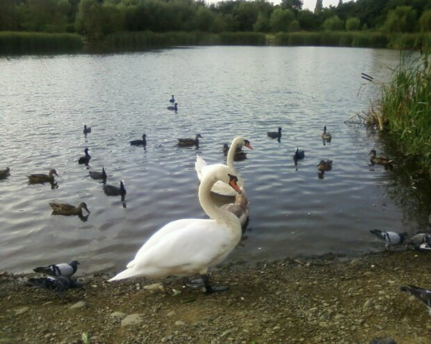 Лебеди на озере, фото с фейсбук