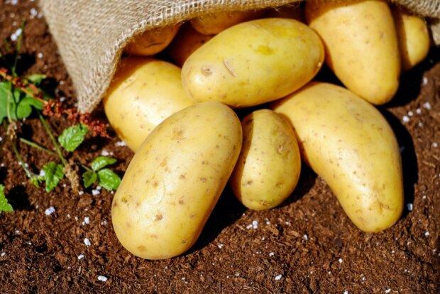 Картошка, фото: Pxhere