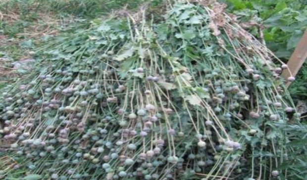 Під Києвом міліція вилучила 340 рослин коноплі