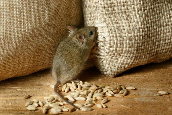 Мыши, фото из свободных источников