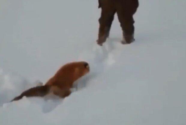 Нелюди жестоко расправились с маленькой лисичкой: били ногами и душили сапогом