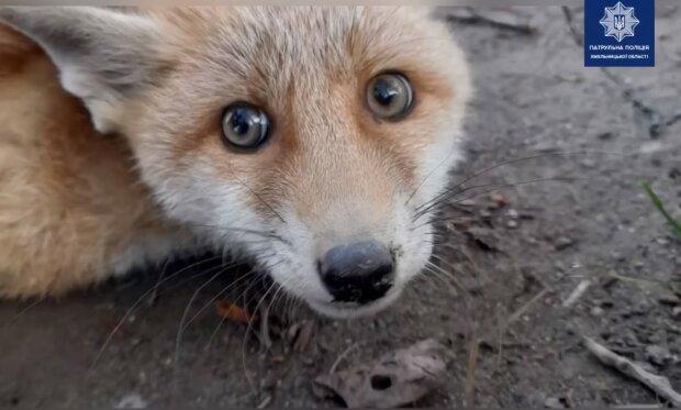 врятоване лисеня, скріншот з відео