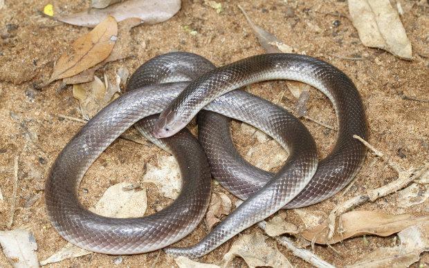 Исследователи наткнулись на странную змею, неизвестную науке: атакует не открывая рта
