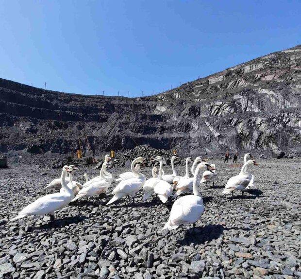 У місті Зеленського зграя лебедів опинилася в кам'яному мішку - птахи помирають через пекельну спеку