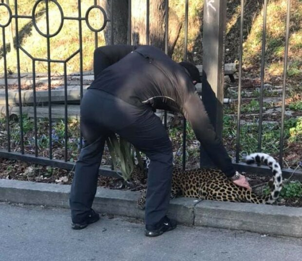 А якщо кусне? Киянин вигуляв величезного леопарда на тонкому повідку