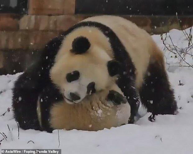 Панди в Китаї