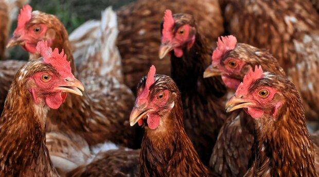 Пташиний грип: хвороба, симптоми, лікування, segodnya.ua