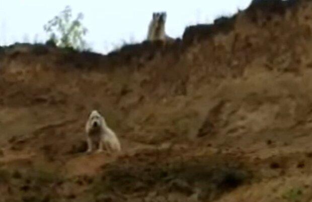 Закоханий пес врятував подругу від вірної загибелі - людям варто повчитися