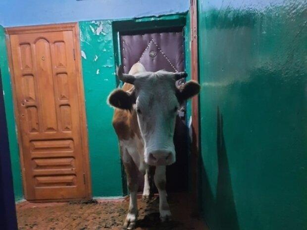 Корова, фото з Telegram-каналу