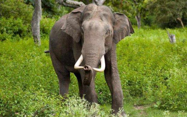 На популярном курорте слон убил мужчину и попытался замести следы