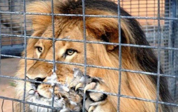У зоопарку під Маріуполем лев загриз працівника