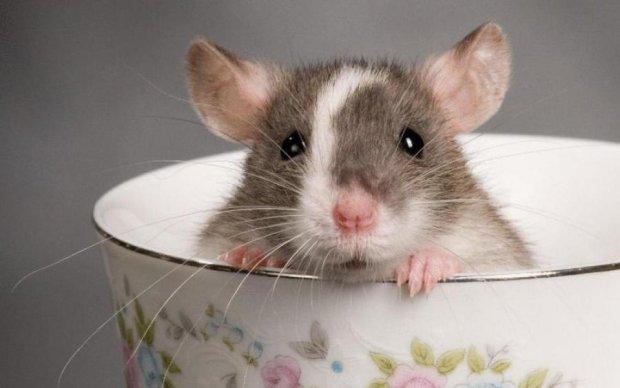 Домашні миші виявилися істеричками