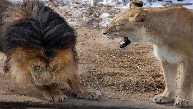лев і левиця