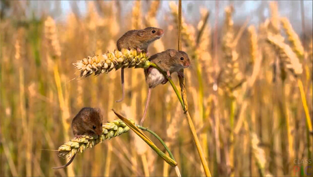 Львовщина рискует остаться без хлеба: поля атаковали полчища грызунов-оккупантов