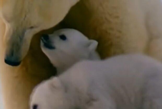 Белые медведи, кадр из видео