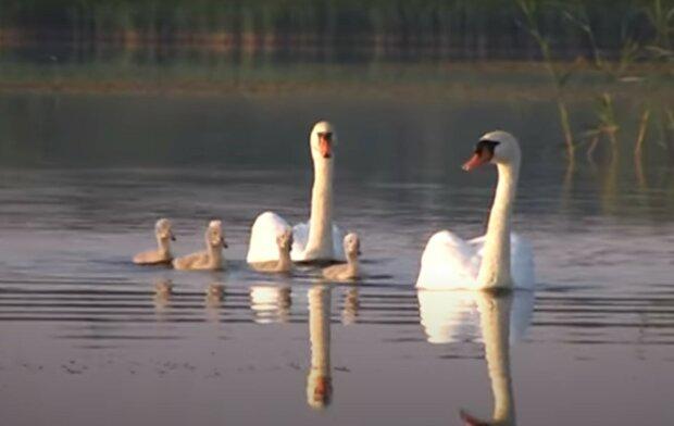 Лебеді, скріншот з відео