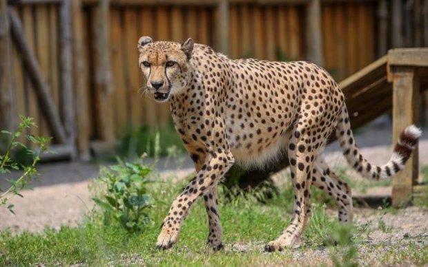 Не дихайте: гепарди увірвалися в машину до туристів, відео