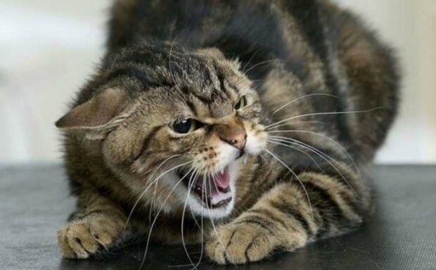 Буковинку покусав скажений кіт, фото з вільних джерел