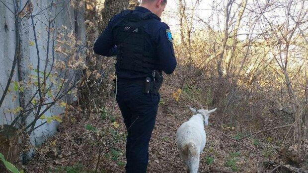 """У Дніпрі коза-бунтарка влаштувала """"страйк"""" господареві і потрапила в біду: небезпечну витівку рогатої  зловила камера"""
