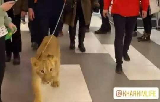 Харьковский супермаркет угодил в скандал с измученным львенком: таскали ради развлечения