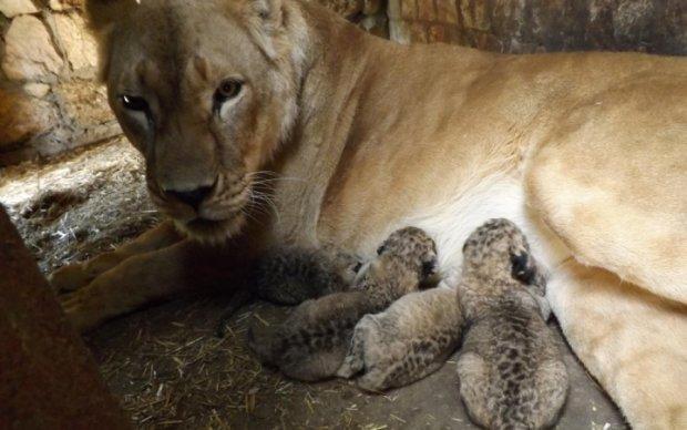 Новорожденных львят показали в бердянском зоопарке