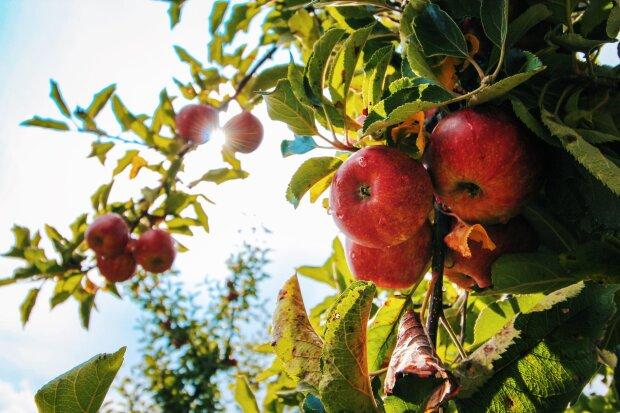 Яблочный Спас: когда будет, традиции и история, фото - Рexels