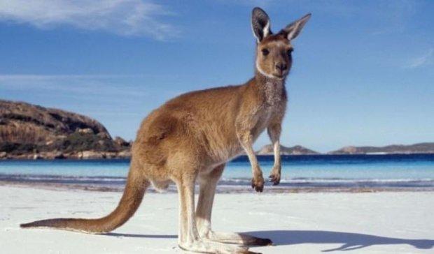 Как маленький кенгуру подружился с австралийцем (видео)
