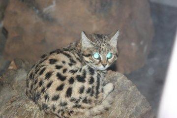 В Африці живе найкровожерливіша кішка на планеті