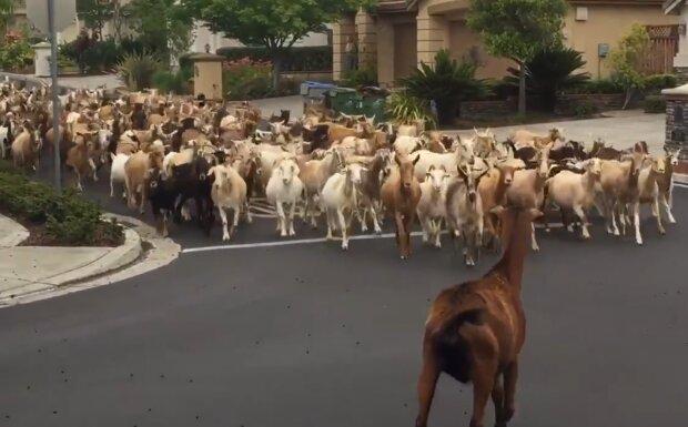 кози окупували місто, скрін з відео