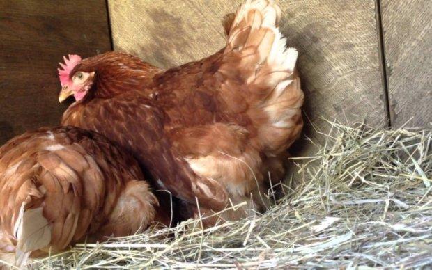 Ученые разгадали проблему курицы и яйца