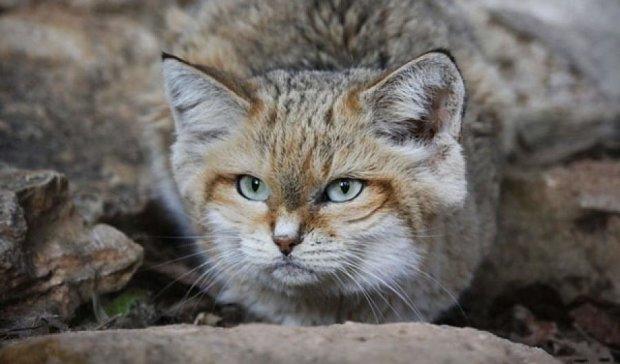 Камери в Еміратах зафіксували рідкісну тварину (ФОТО)