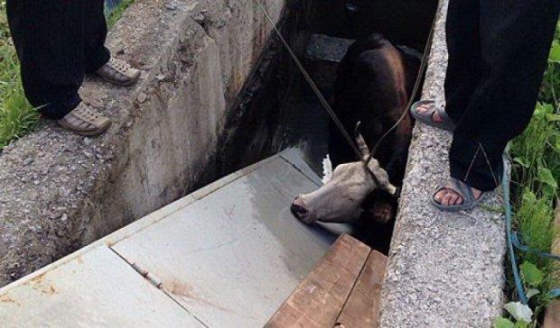 Рятувальники визволили корову із пожежної водойми на Ужгородщині (фото)