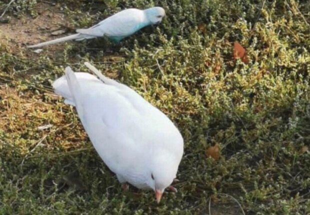 У Запоріжжі екзотичний птах очолив банду голубiв