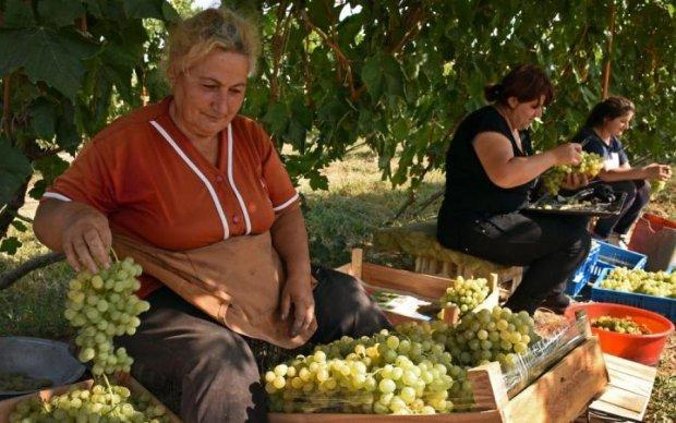 Прихована загроза: кому не можна їсти виноград